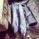 Ryby Duże