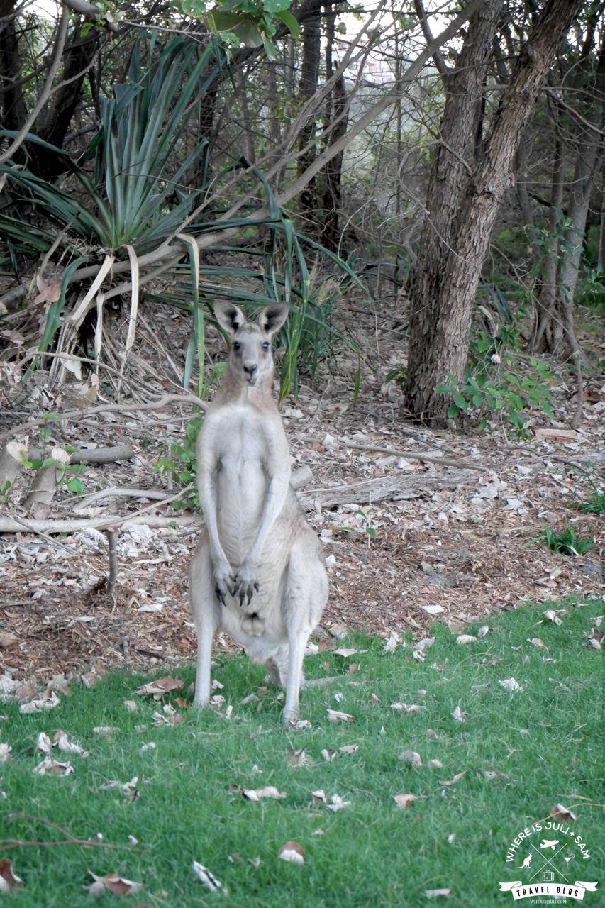 kangur na Straddie