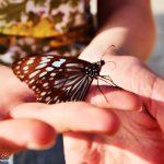 Motyle Na Hayman Island