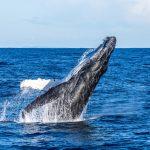 Humpback Whale Breach Credit Migration Media – Underwater Imaging