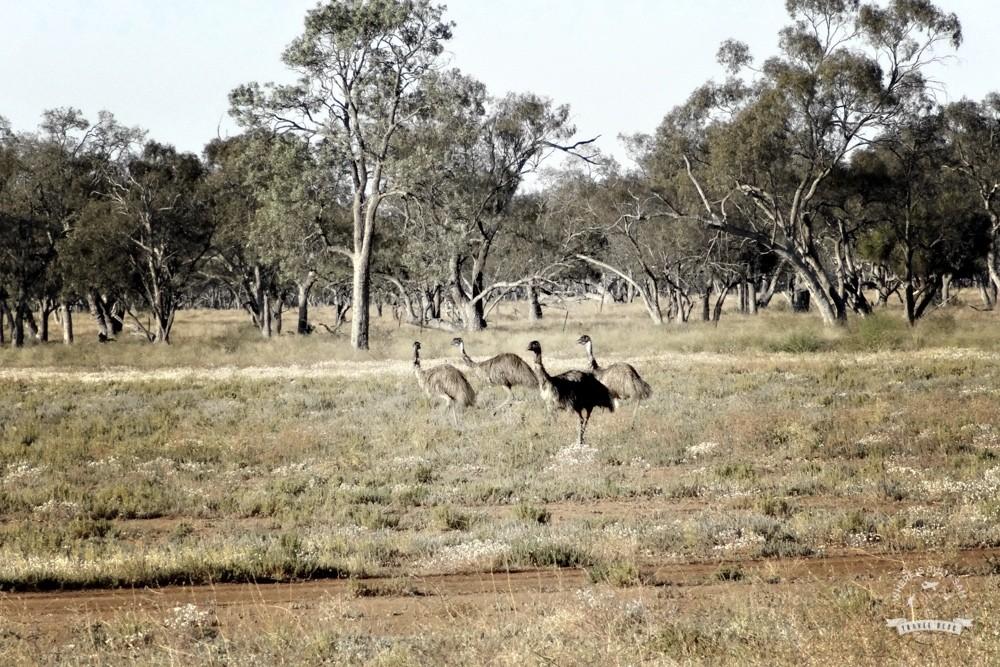 Fakty o emu. Niektóre są śmieszne