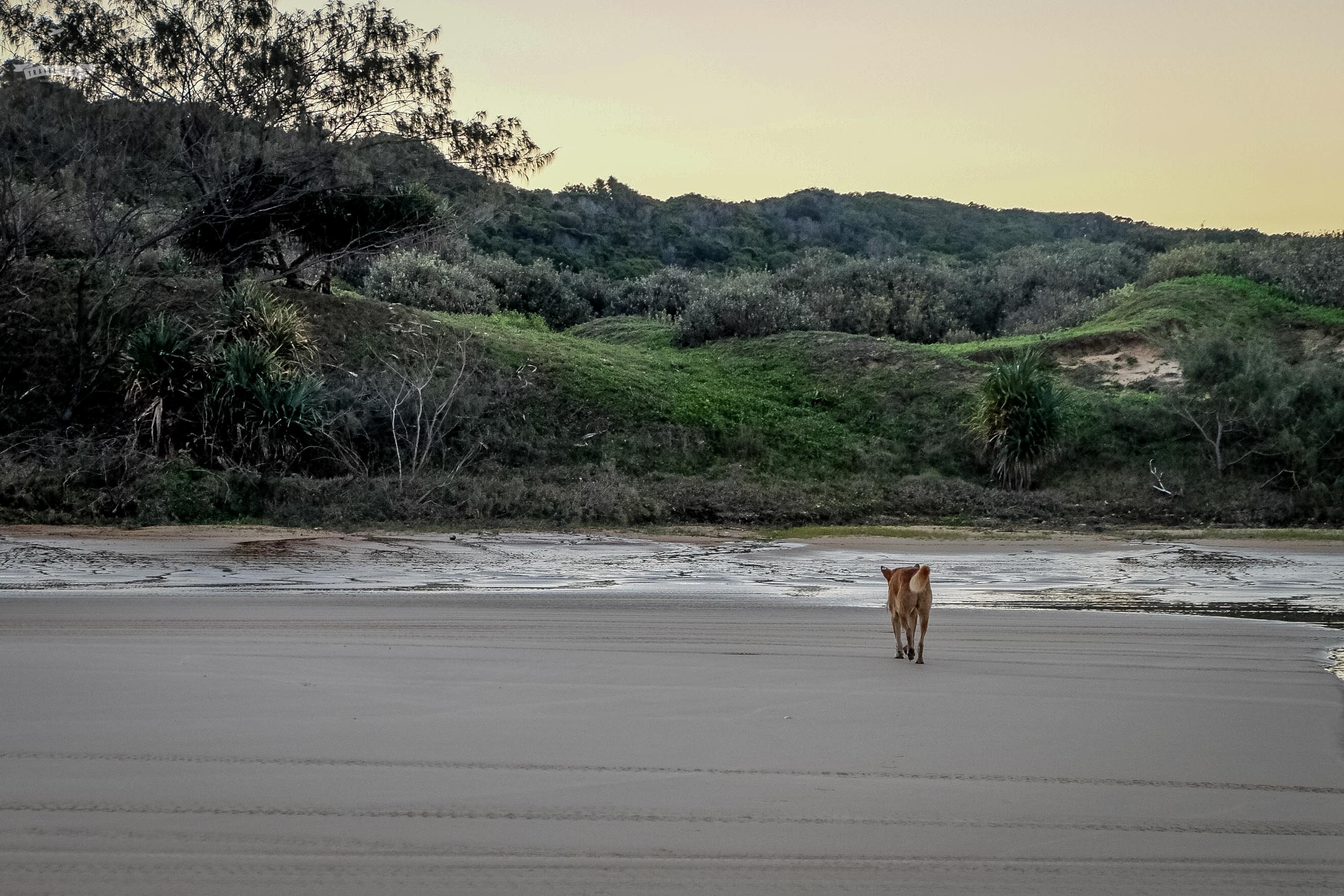 dingo na spacerze