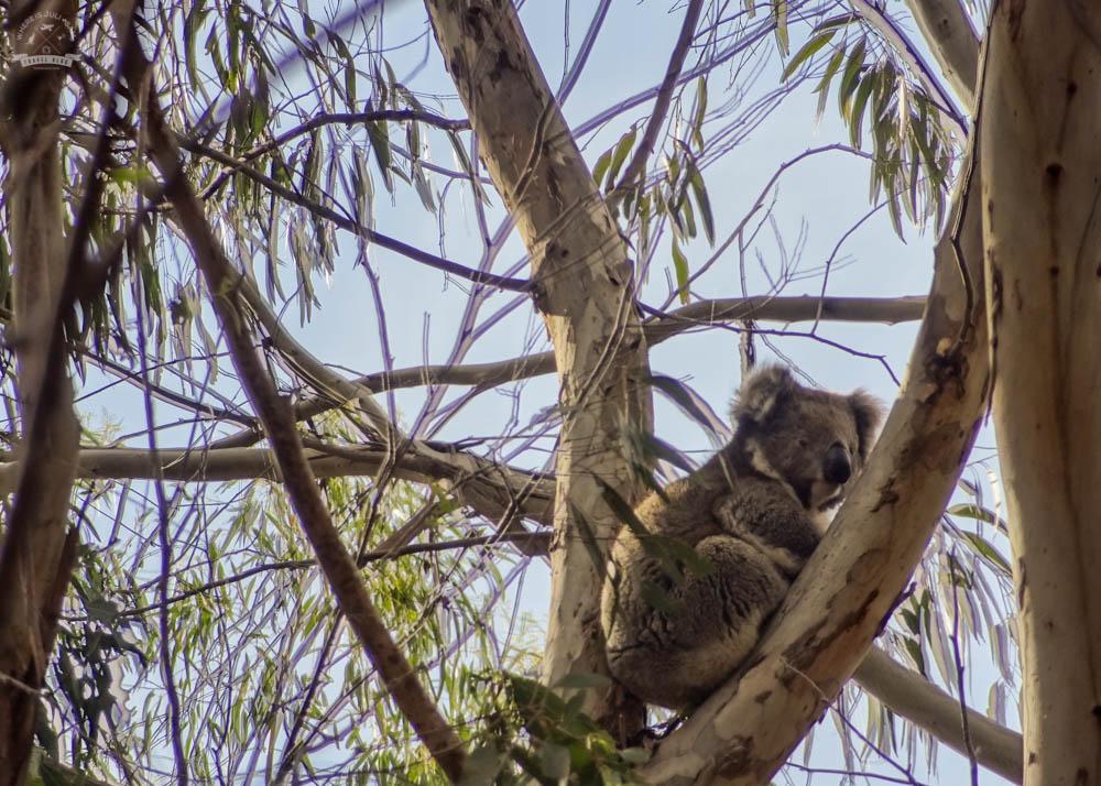 KANGAROO ISLAND: Inna strona i koale