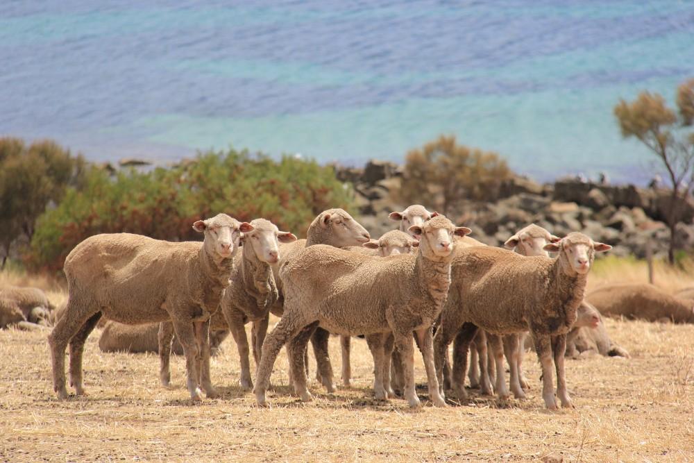 Australijskie owce Tur Tur Blog