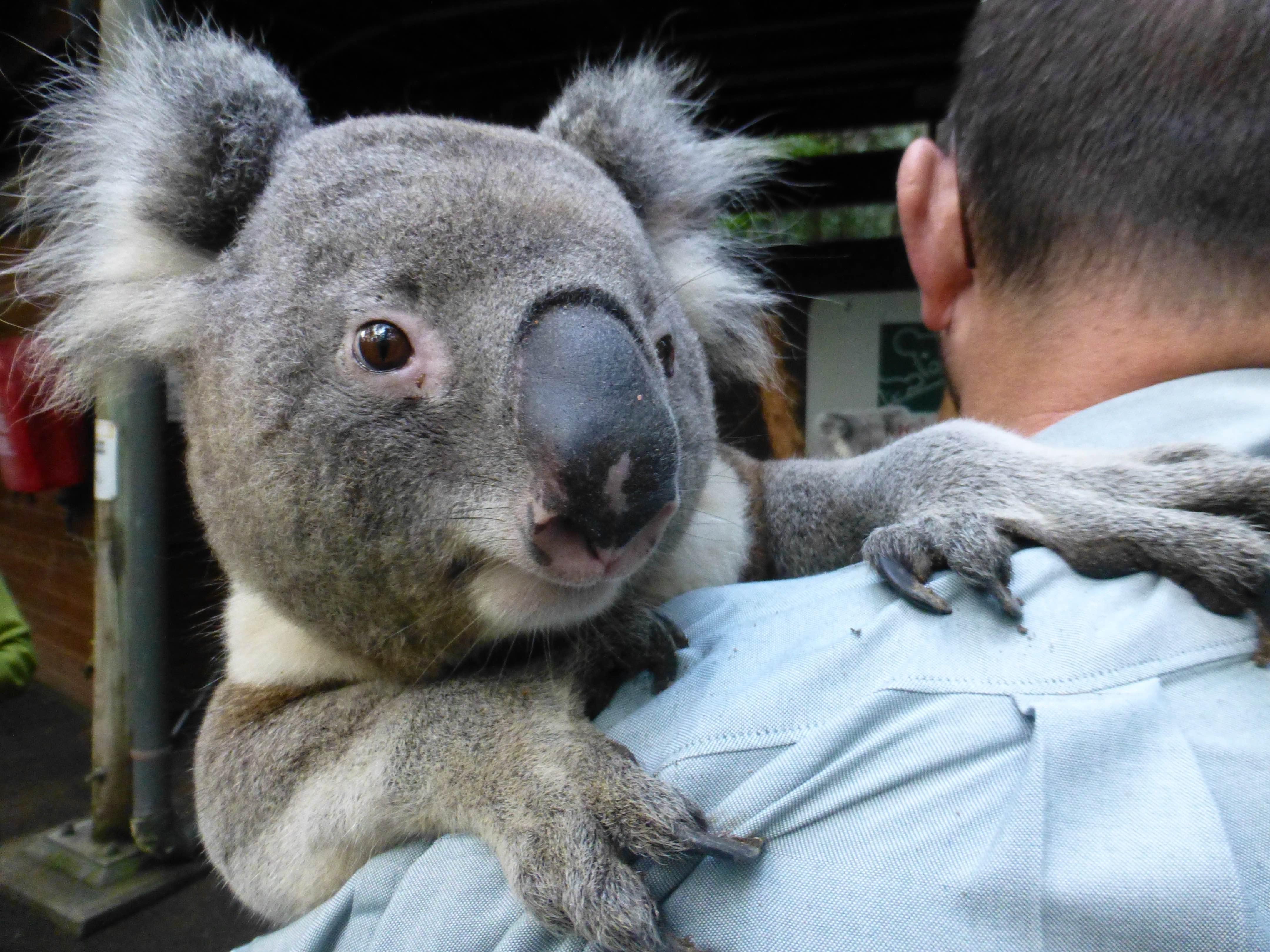 Koala Złap Trop