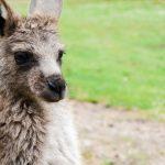 Tasmania Kangur