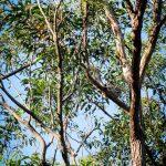 Trasa Sydney Brisbane North Stradbroke Island Koala