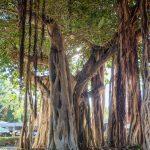 Magnetic Island Drzewo Kroczace