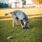 Australijski Pies