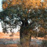 Baobab Australia