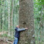 Drzewa Bunya