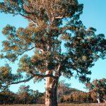 Wielkie Eukaliptusy Australia