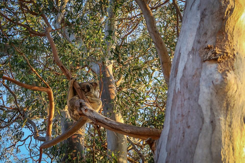 North Stradbroke Wyspa Dzikie Koale