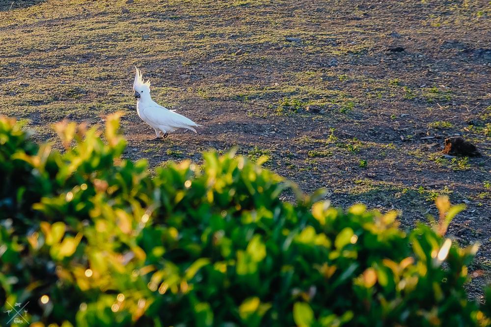 Wyspa Hamilton Island Kakadu
